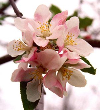 Arkansas State Flower - Apple Blossom