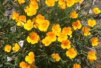California State Flower - California Poppy