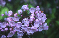 Connecticut State Flower - Mountain Laurel