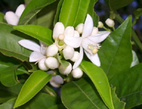 Florida State Flower - Orange Blossom