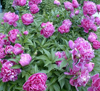 Indiana State Flower - Peony