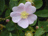 Iowa State Flower - Wild Prairie Rose