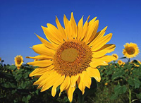 Kansas State Flower - Sunflower