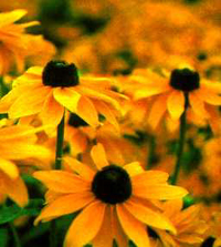 Maryland State Flower - Black-eyed Susan