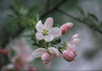 Michigan State Flower - Apple Blossom