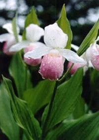 Minnesota State Flower - Pink & White Lady's - Slipper