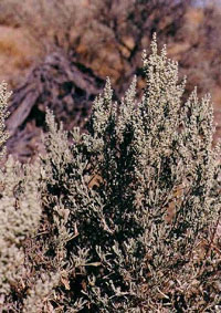 Nevada State Flower - Sagebrush