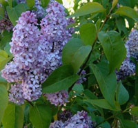 New Hampshire State Flower - Purple Lilac