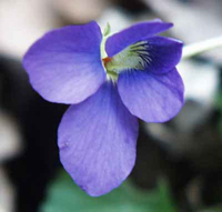 New Jersey State Flower - Violet
