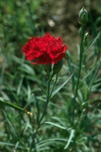 Ohio State Flower - Scarlet Carnation