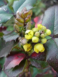Oregon State Flower - Oregon Grape