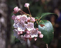 Pennsylvania State Flower - Mountain Laurel