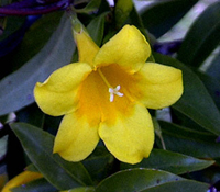 South Carolina State Flower - Yellow Jessamine