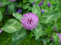 Vermont State Flower - Red Clover