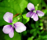 Wisconsin State Flower - Wood Violet