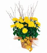Yellow Hope Chrysanthemum