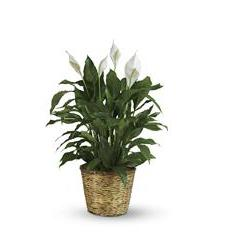 Simply Elegant Spathiphyllum - Large (T105-3A)