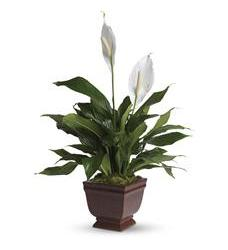 Teleflora's Lovely One Spathiphyllum Plant (T272-1A)