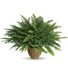 Teleflora's Heartwarming Thoughts Boston Fern (T272-2A)