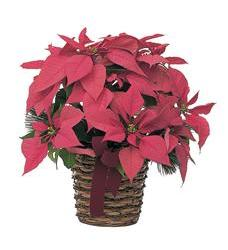 Poinsettia Basket (TF103-3)