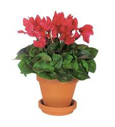 Sensational Cyclamen (TF130-1)