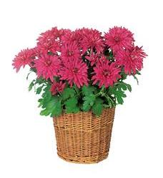 Purple Chrysanthemum (TF132-2)