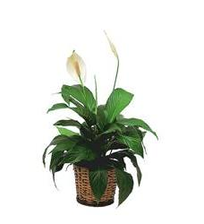 Small Spathiphyllum Plant (TF133-2)