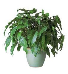 Xanadu Philodendron (TF134-1)