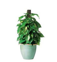 Proud Pothos (TF134-2)