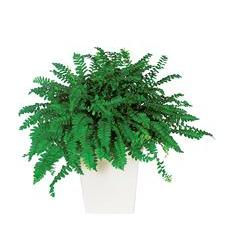 Decorative Fern (TF136-1)