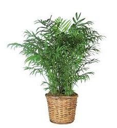 Parlor Palm (TF136-2)