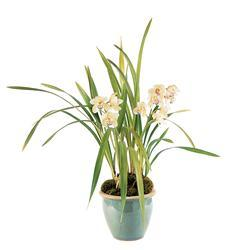 White Orchid Plant  (TF212-2)