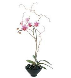 Miniature Lavender Moth Orchid  (TF219-5)