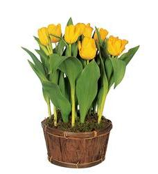 Potted Yellow Tulips (TF61-1)