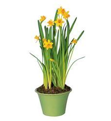 Narcissus Plant (TF61-3)