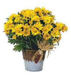 Harvest Yellow Daisy Plant (TF80-3)