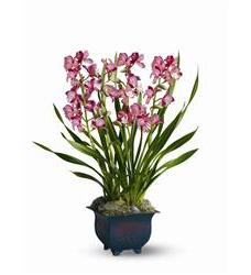 Simply Cymbidium (TFWEB395)