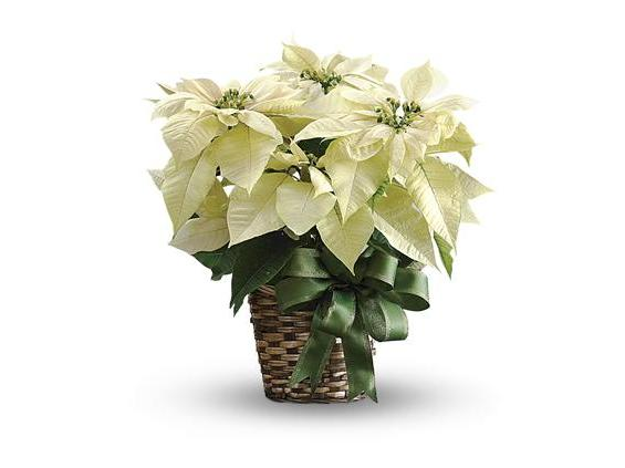 White Poinsettia (T122-2A)