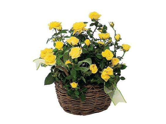 Yellow Miniature Roses (TF132-1)