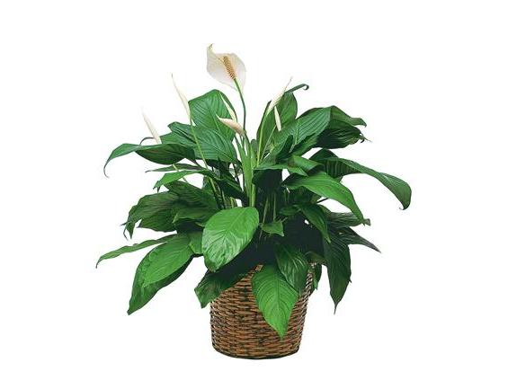 Medium Spathiphyllum Plant (TF133-3)