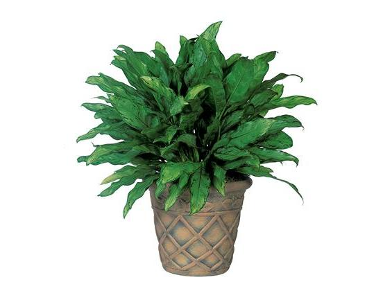 Aglaonema (TF135-3)