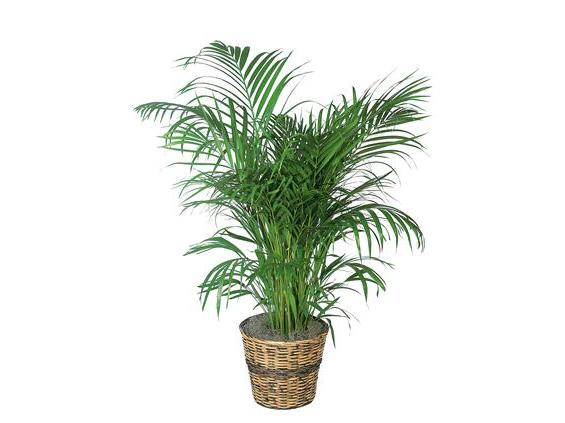 Areca Palm (TF136-3)