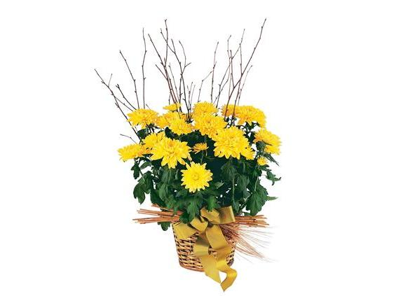 Yellow Hope Chrysanthemum  (TF210-2)