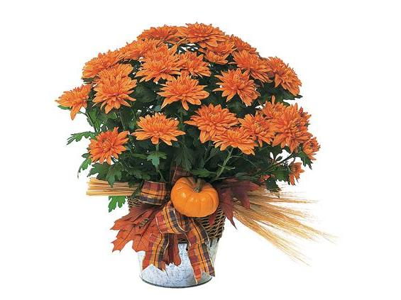 Bronze Cushion Mum Plant (TF80-1)