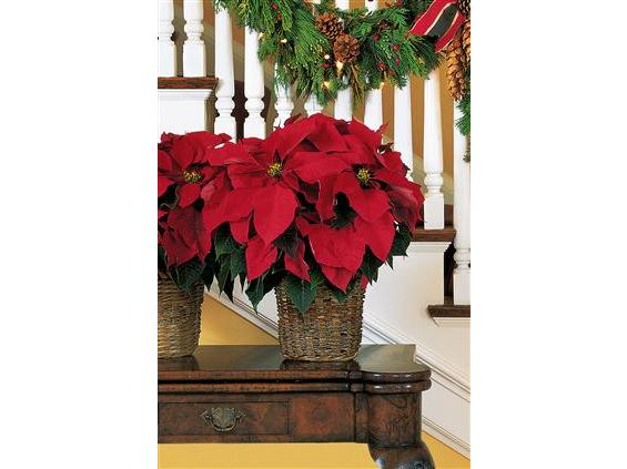 "6"" Red Poinsettia (TF88-1)"