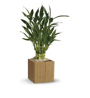 Teleflora's Good Luck Bamboo (T100-2A)