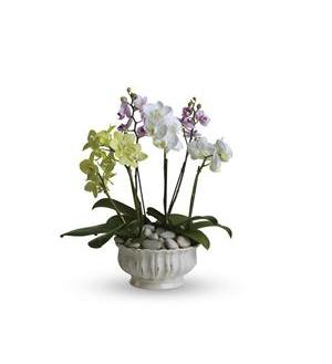 Regal Orchids (T103-1A)