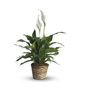 Simply Elegant Spathiphyllum - Small (T105-1A)