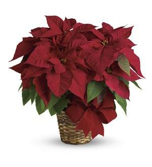 Red Poinsettia (T122-1A)