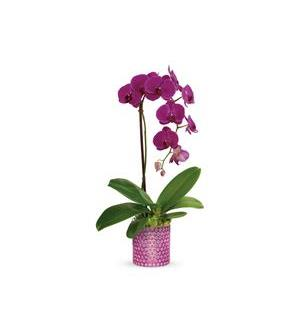 Teleflora's Dazzling Orchid (T19S110A)